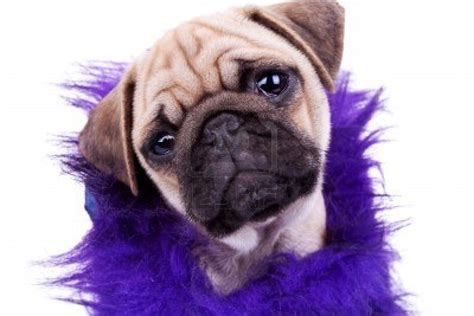 cuttest pug dogs pug puppy