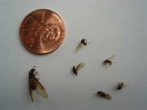 bathroom ants small flying ants in bedroom www redglobalmx org