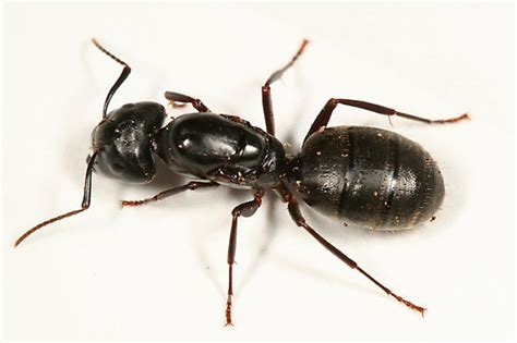 black ants kill ants flying ants black ants kill ants