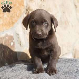 chocolate lab puppies ohio chocolate lab puppies for sale in pa