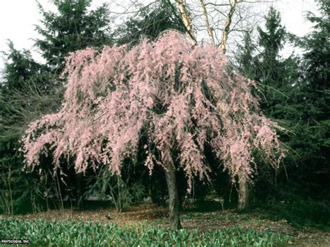 weeping trees growing a weeping cherry tree hgtv