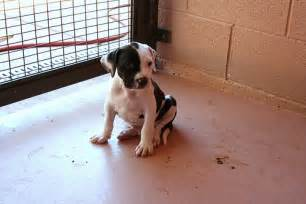 buy pit adopt pit bull puppies don t breed or buy flickr