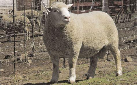 Dormer Sheep dormer sheep breed origin and history farmer s weekly