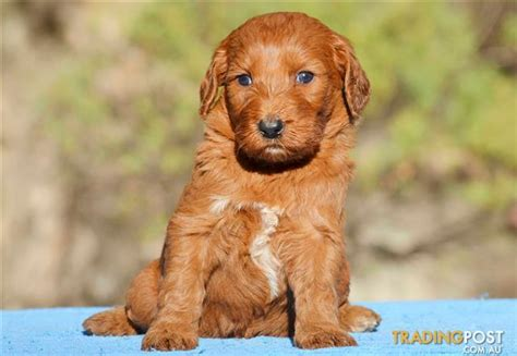 golden retriever x poodle puppies for sale standard groodle golden retriever x poodle puppies for sale in hoppers crossing vic