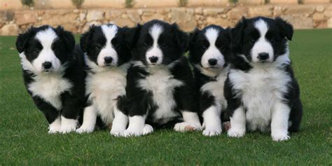 border collie puppies border collie puppies rescue pictures information temperament characteristics