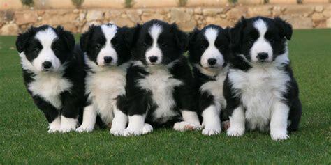 haired border collie puppies border collie puppies jet assure