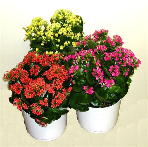 hope for my christmas kalanchoe plant the unscripted mind