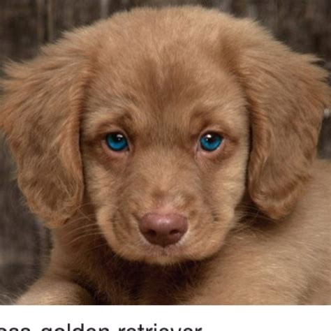 golden retriever cross cavalier cavalier cross golden retriever a cavaever what blue you ve got