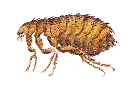 how to get rid of fleas on homes humans cats dogs