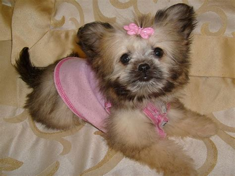 shih tzu mix chihuahua puppies shih tzu chihuahua mix a k a shichi breed info 21 pictures animalso