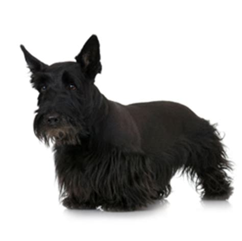 how to give a scottish terrier a hair cut scottish terrier care a lot pet supply