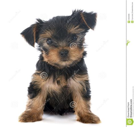 black yorkie puppy 50 terrier puppy pictures and photos