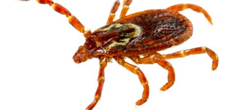 american tick it s tick season here s what you need to