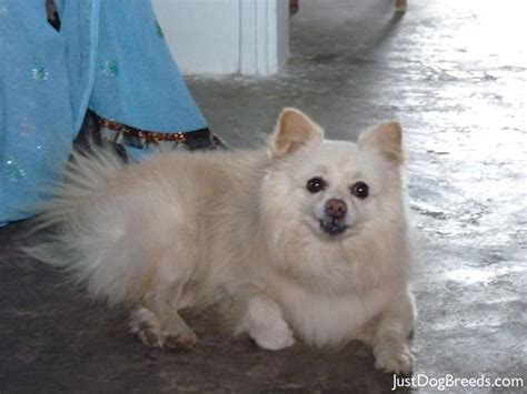 pomeranian large breed breed and top pics kootation breeds picture breeds picture