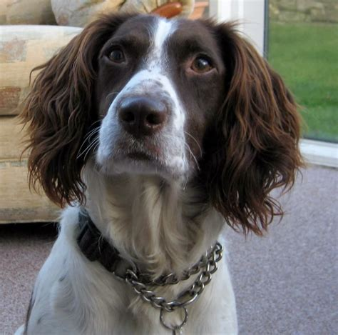 spaniel puppies rescue springer spaniels dogs breeds picture