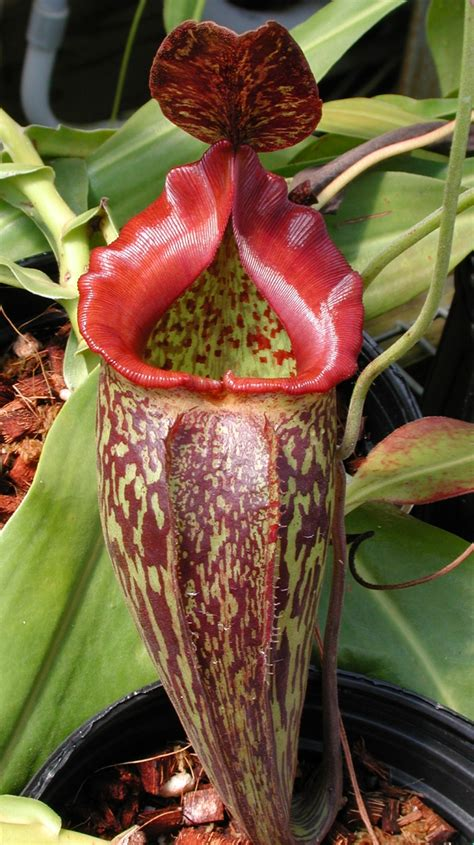 tropical pitcher plants  home  greenhouse garden