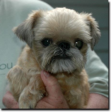 brussels griffon puppies for adoption pin brussels griffon puppies rescue on