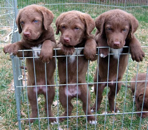 chesapeake bay retriever puppies chesapeake bay retriever dogs pictures photos pics breeds picture