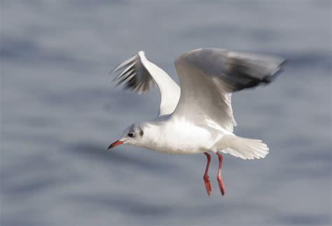 gabbiano uccello argonauti la natura di puglia e basilicata gabbiano comune
