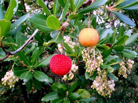 piante da frutta in vaso piante da frutto alberi da frutto frutti di bosco
