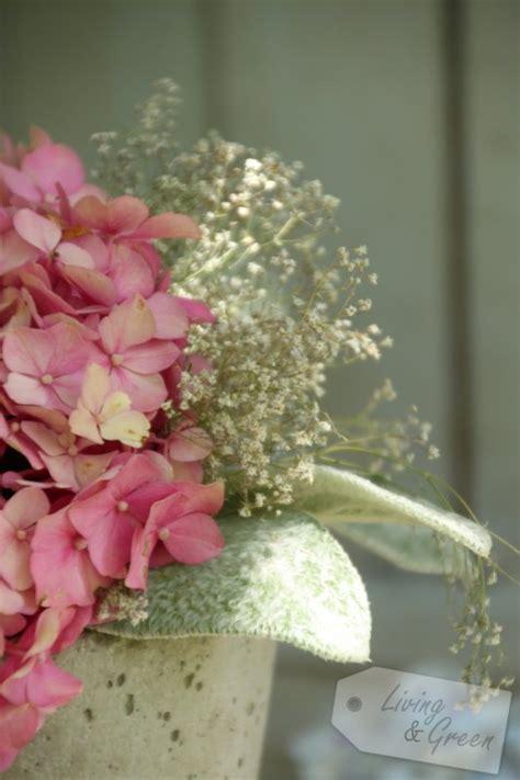 schleierkraut trocknen hortensien hortensien hortensien living green