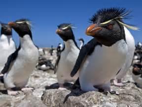 Rockhopper penguins rockhopper penguin pictures rockhopper penguin