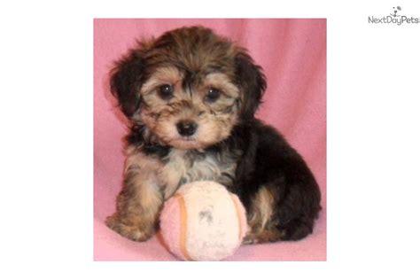yorkie puppies for sale in akron ohio yorkiepoo yorkie poo puppy for sale near akron canton ohio 5b0295ba dea1