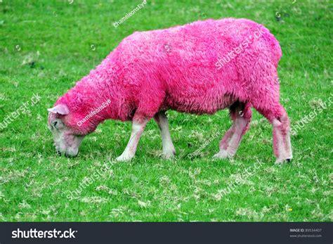 Sheep Pink pink sheep grazing green field new stock photo 89534407