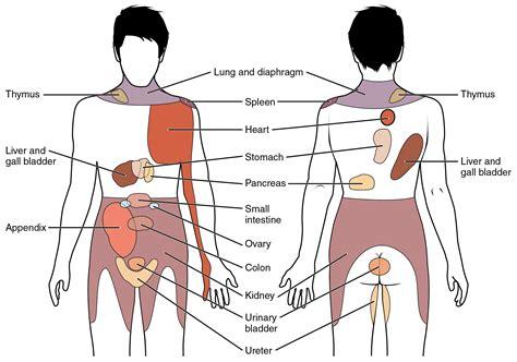 organ locations diagram liver location diagram anatomy organ