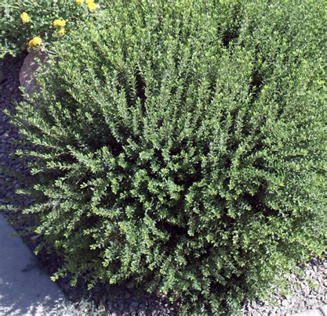 green foliage plants for sun myrtle national nursery products