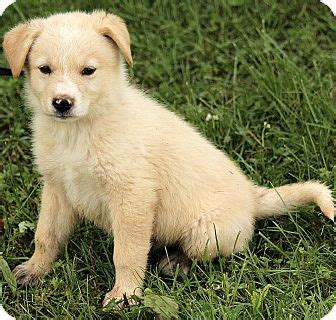 golden retriever puppies syracuse ny adopted puppy dg syracuse ny golden retriever great pyrenees mix
