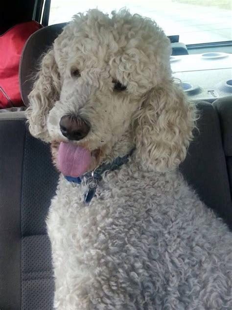 standard poodle puppy cut 191 best images on doggies poodles and animales