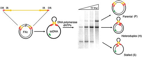 Nice What Acts As The Template In Dna Replication Gallery Professional Resume Templates Explain How Dna Serves As Its Own Template During Replication