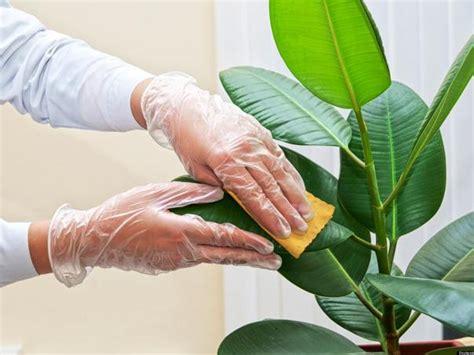 enfermedades de las plantas de interior como cuidar las plantas de interior de las plagas