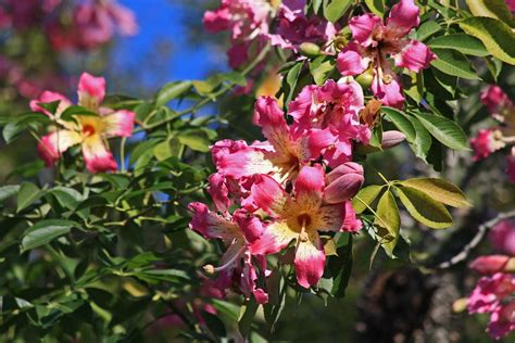 plantanswers plant answers gt fall flowering tree in san