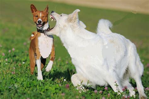 all white german shepherd white german shepherd loyalty master