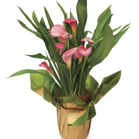 Calla Planter by Pink Calla Gift Plant Gift Plants At Jackson And