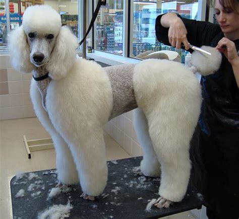 differenct cuts for poodles different poodle haircuts different standard poodle cuts
