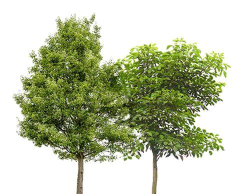 www trees avenue ornamental trees marc de raeve