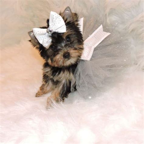 toys for yorkies yorkie for sale teacup yorkies sale