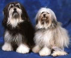 havanese pros and cons 1000 images about new on breeds smooth collie and clumber spaniel