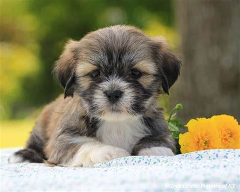 lhasa apso puppies price our lhasa apso puppies for sale here in kentucky
