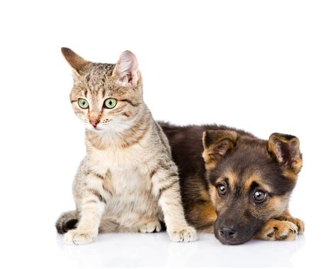 how to get dogs and cats to get along getting dogs and cats to live together bow wow meow pet