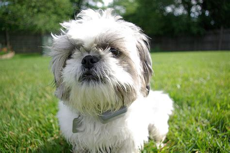 shih tzu with curly hair hypoallergenic dogs list the best dog breeds for people