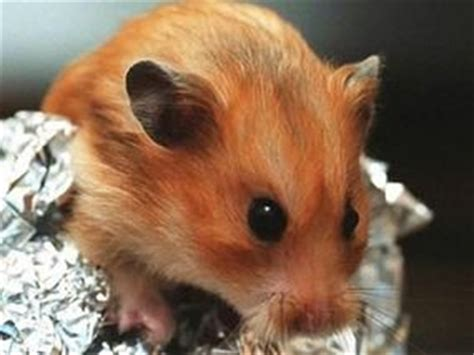 wont stop sneezing my hamster won t stop sneezing express yourself comment express co uk