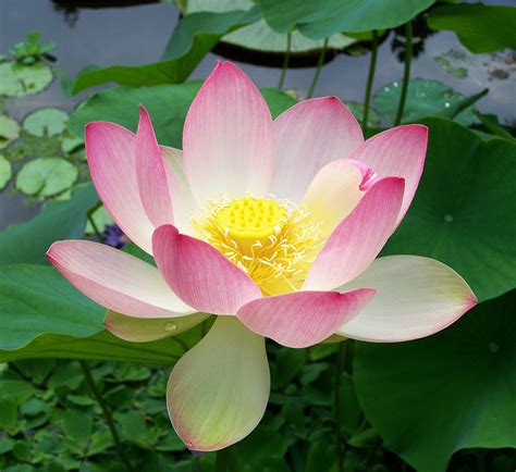 The Lotus Blossom File Sacred Lotus Nelumbo Nucifera Jpg Wikimedia Commons
