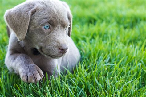has puppies silver lab puppy www imgkid the image kid has it