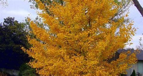 piante da giardino alto fusto alberi ad alto fusto alberi caratteristiche degli