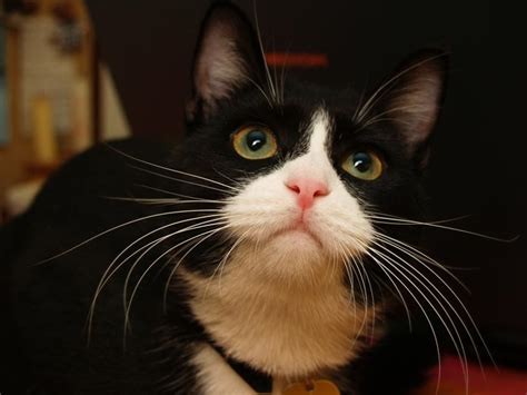 imagenes blanco y negro de gatos gato brit 225 nico bicolor blanco y negro todo sobre 233 l