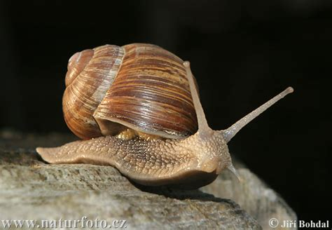 terrestrial snail pictures about animals snail animal wildlife